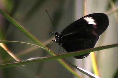 Black butterfly2