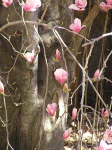 Magnolias2_19